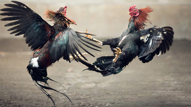 Main Judi Ayam S128 Online Paling Aman